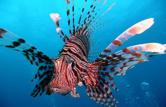 Invasive species lionfish you me biodiversity for Invasive fish in florida